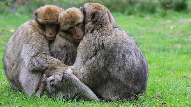 Barbary macaques in the Monkey Forest at Trentham. Photo credit: Dr. Alexandra Rosati